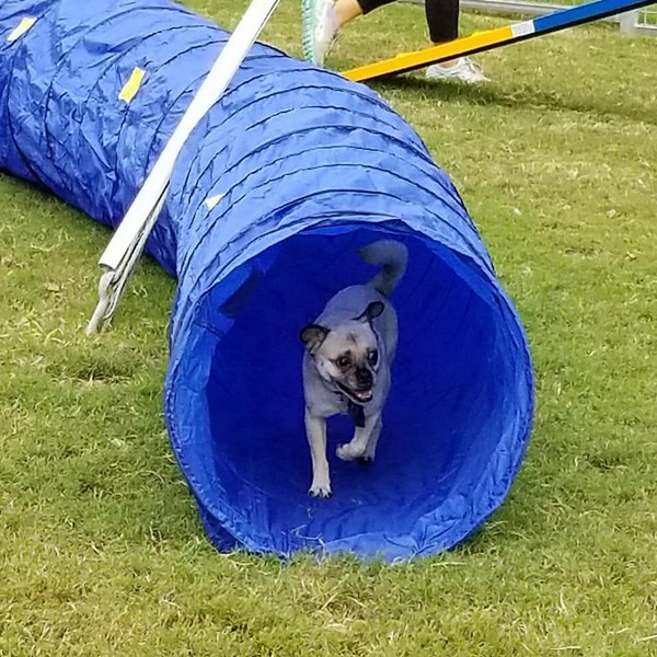 Dog using agility equipment in pet park