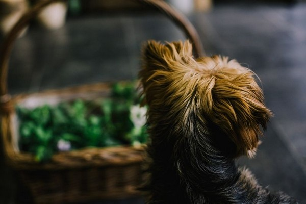 Dog and basket. Click to view the photo gallery.