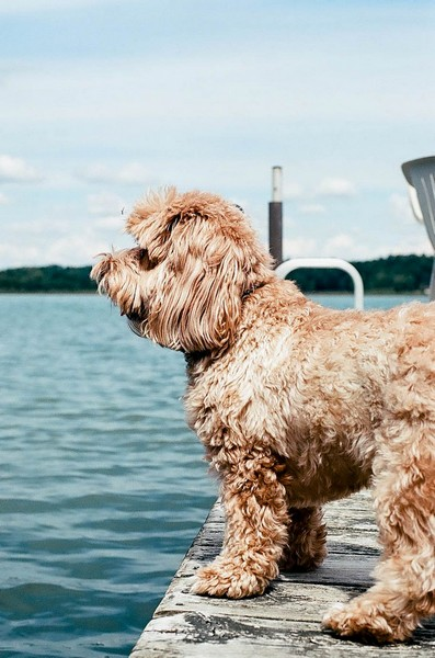 Dog standing on a dock next to water