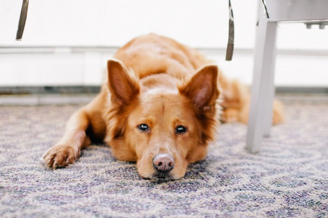 Red dog laying down.