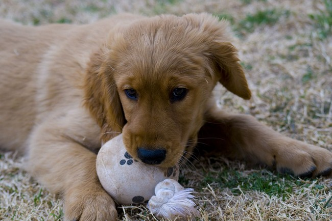 A puppy chewing on a ball.